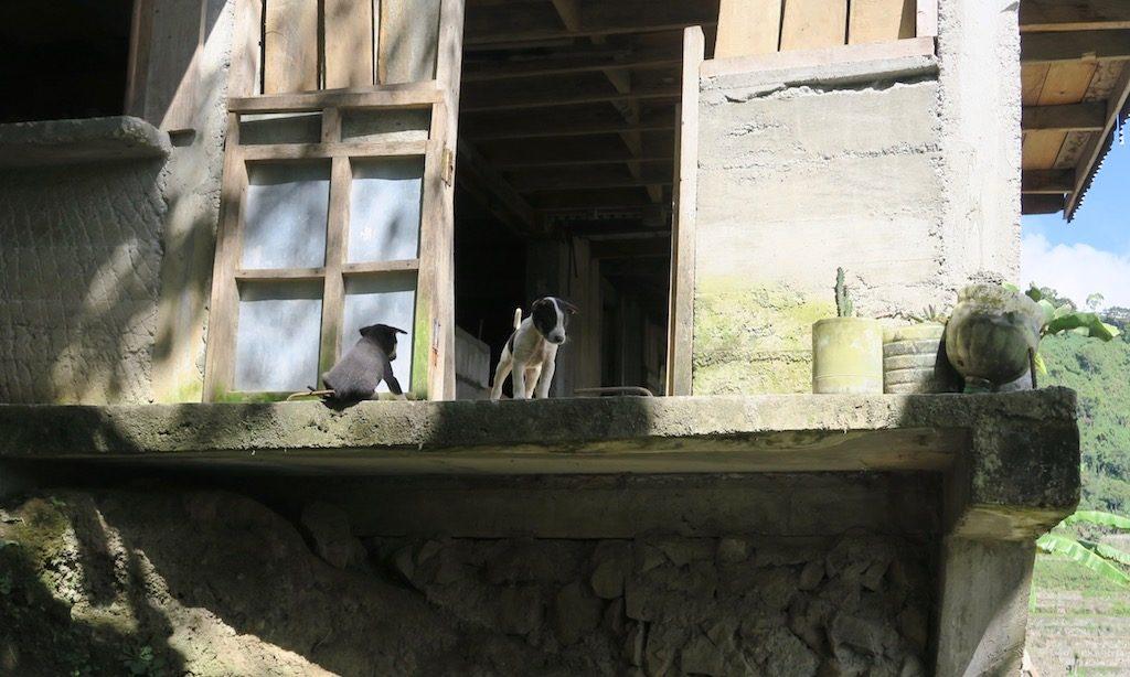 Kleine süße Hunde in Batad aus einem Häuschen herausschauend