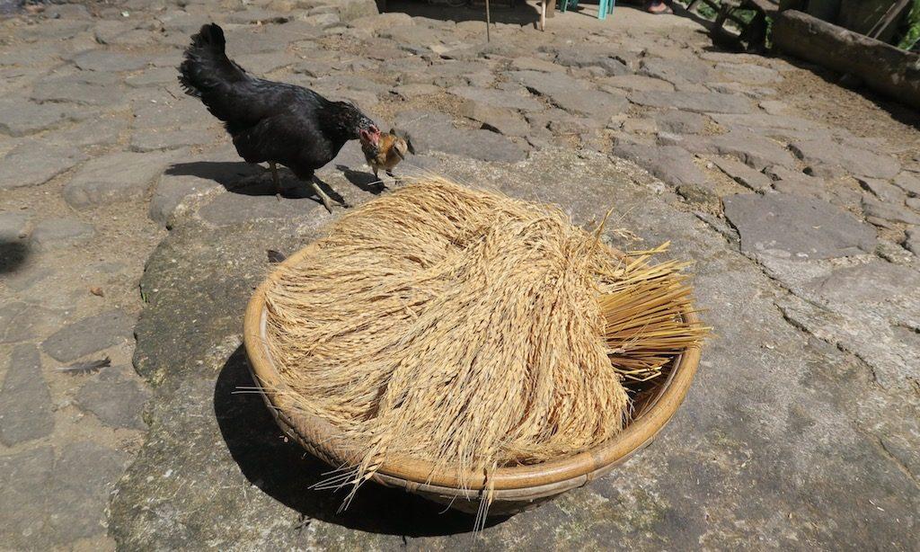 Reisrispen in einem Korb in Batad