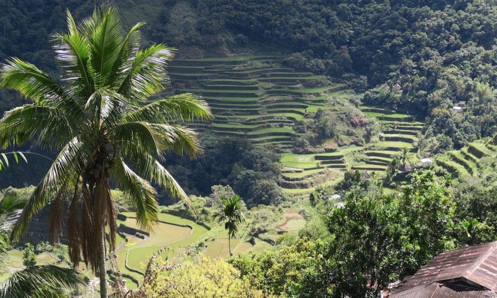 Blick ins Tal von Batad mit Palme im Vordergrund