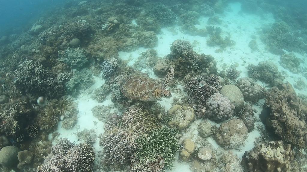 Eine Meeresschildkröte am Panagsama Beach