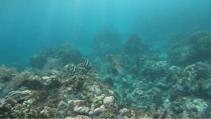 Halfterfisch am Tubod Beach Siquijor