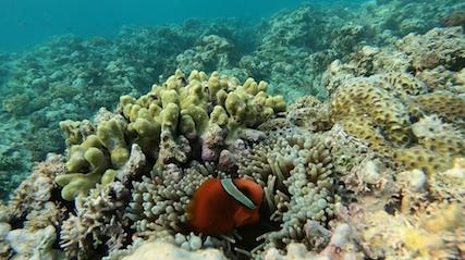 Clownfisch in Korallen am Tubod Beach