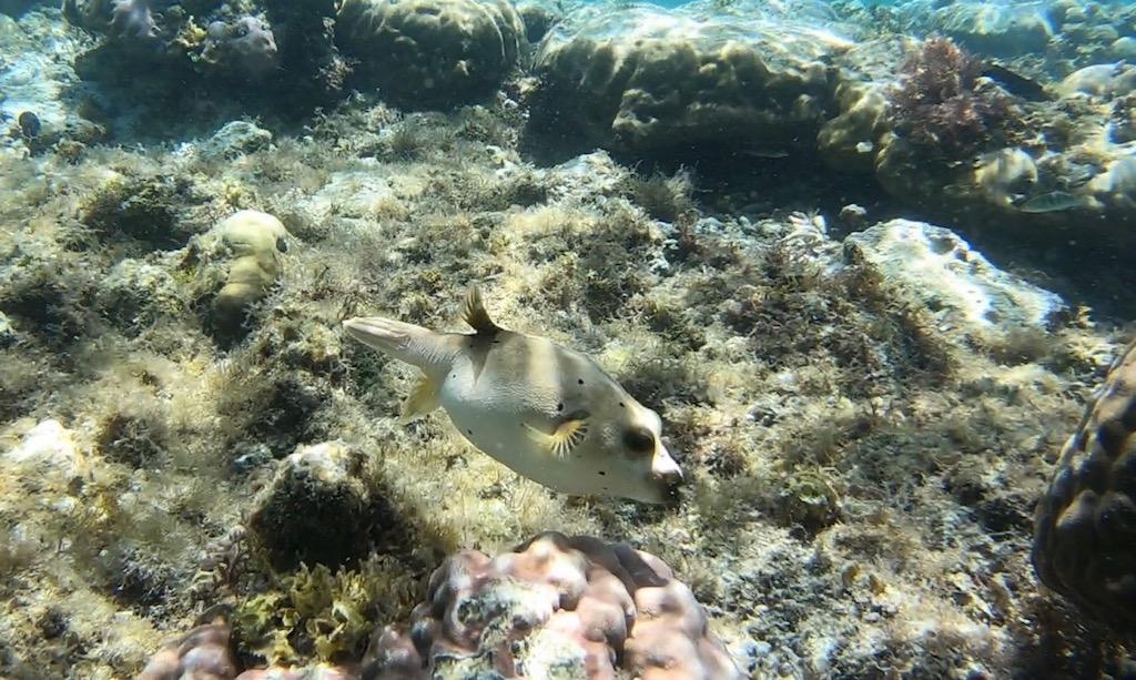 Kugelfisch bei Apo Island
