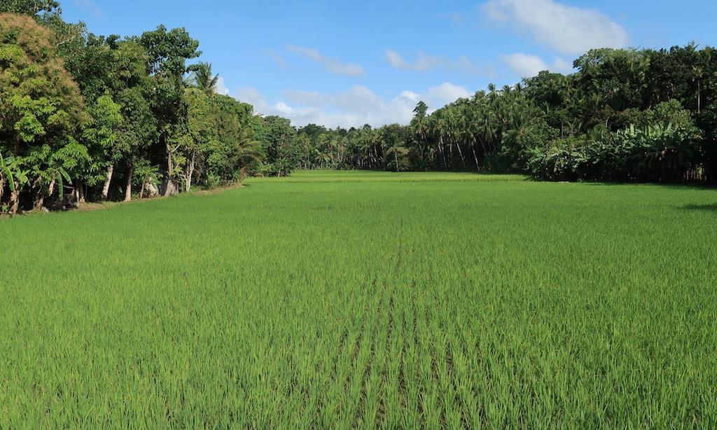 Saftig grünes Reisfeld in Siquijor