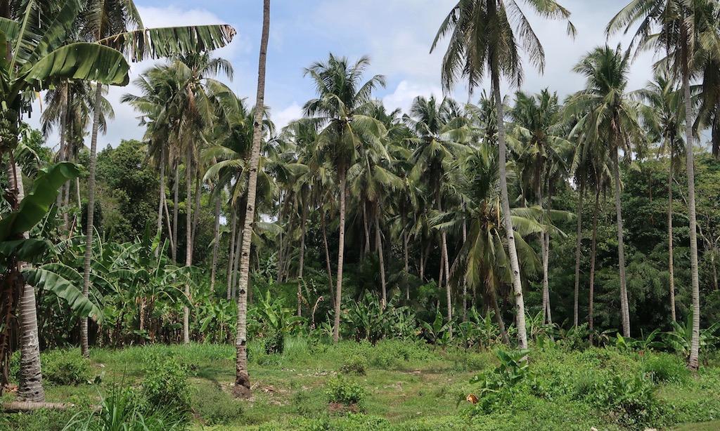 Palmen auf Siquijor